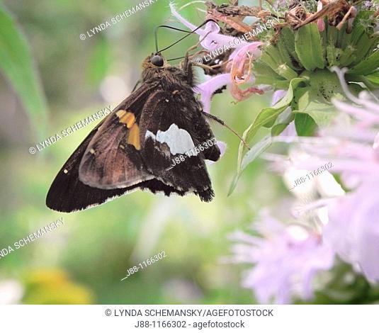 Silver-spotted Skipper Epargyreus clarus butterfly on monarda fistulosa flower