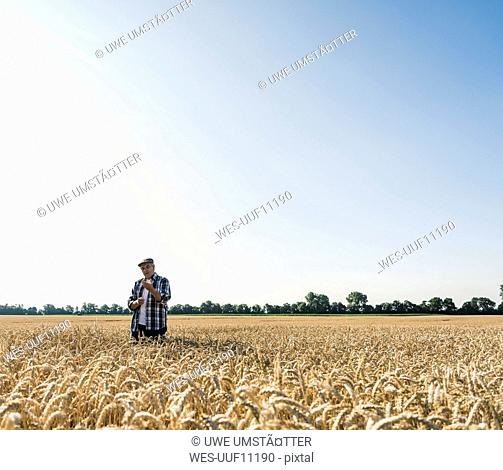Senior farmer in a field examining ears