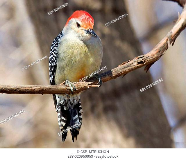 inquisitive red bellied woodpecker perched on a vine