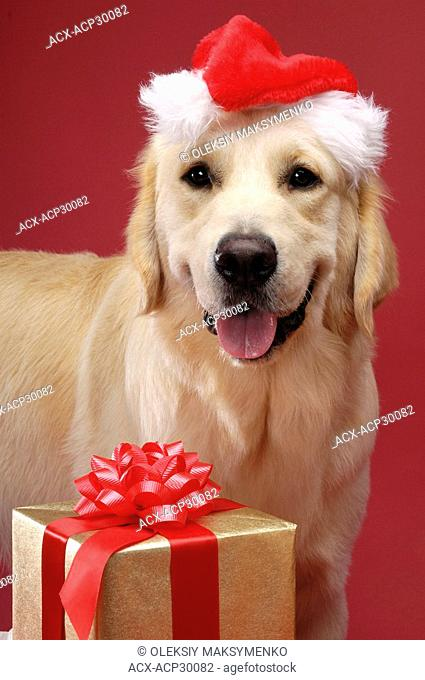Portrait of Golden Retriever in Santa hat with Christmas gift. Isolated on red background. Brody - Gray Valley Kennels - Toronto