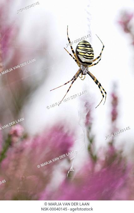 Wasp Spider (Argiope bruennichi) female waiting in her web between flowering Common Heather (Calluna vulgaris), The Netherlands, Drenthe, Balloerveld