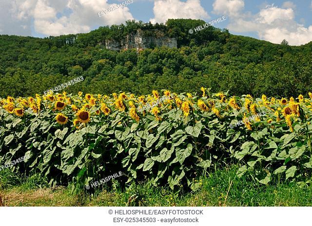 Cenac, sun flower field in Dordogne
