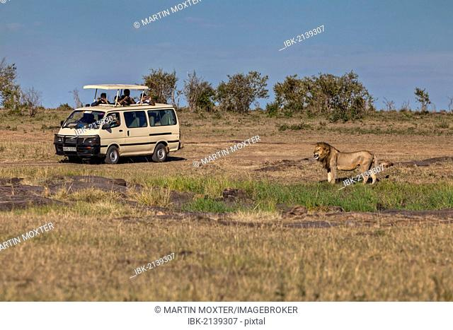 Lion (Panthera leo) in front of a jeep, Masai Mara National Reserve, Kenya, East Africa, Africa, PublicGround