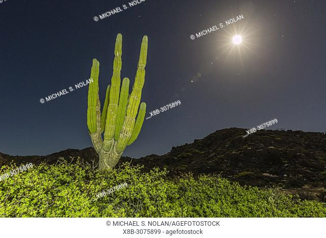 Cardon cactus, Pachycereus pringlei, at night under nearly full moon in Bahia Bonanza, BCS, Mexico