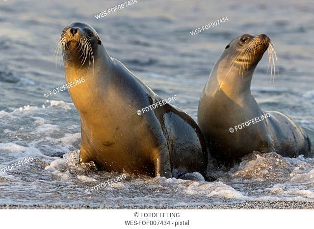 Ecuador, Galapagos Islands, Fernandina, two sea lions in water at seafront