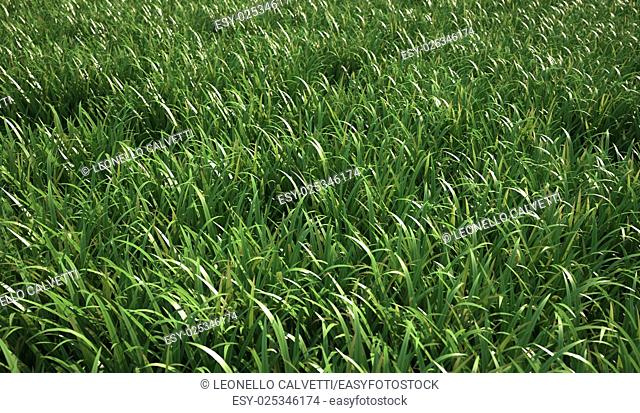 A very green and fresh looking grass field, viewed from short distance