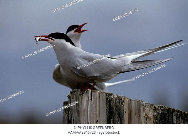 Arctic Tern Courtship Fish exchange (Sterna paradisaea) Churchill, Canada
