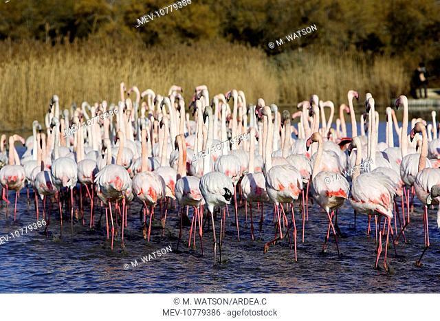 Greater Flamingo - flock in water (Phoenicopterus ruber)