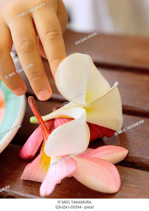 Close-up of a child's hand touching frangipani flowers