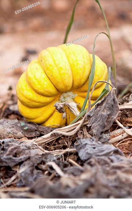 fresh orange yellow pumpkin in garden outdoor