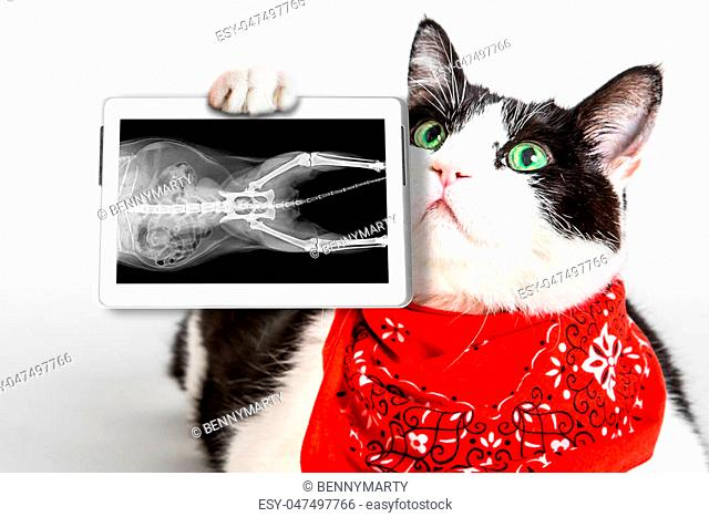 Portrait of a black and white cat with green eyes, wearing a red bandana, showing its X-ray plate in a tablet. White studio background