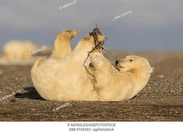 United States, Alaska, Arctic National Wildlife Refuge, Kaktovik, Polar Bear( Ursus maritimus ), Young playing with a branch along a barrier island outside...