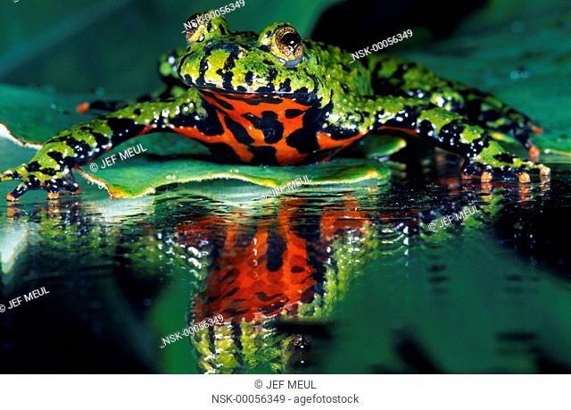 Oriental Fire-bellied Toad (Bombina orientalis) resting on a water lily leaf, Belgium