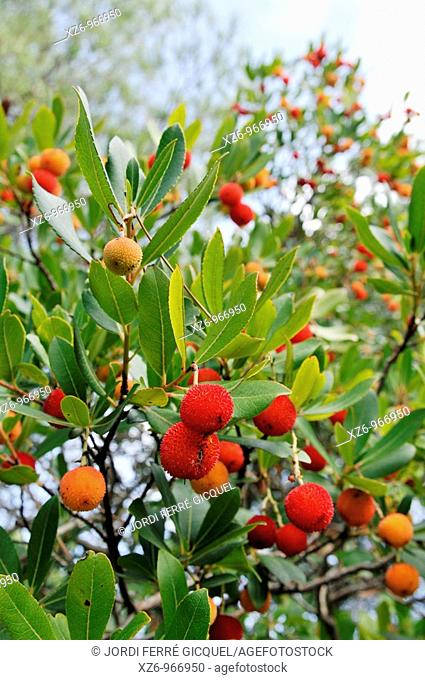 Madroño, Strawberry Tree Arbutus unedo, Tossa de Mar, Girona province, Spain