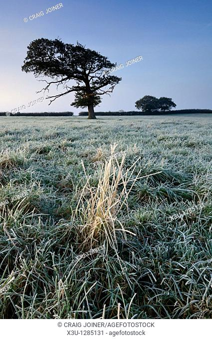 An oak tree stands in a frosty field at dawn in Somerset, England, United Kingdom