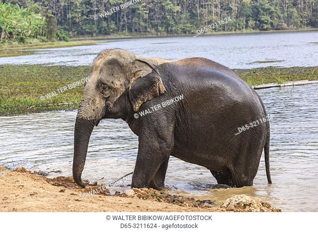 Laos, Sainyabuli, mature Asian elephants, elephas maximus, bathing