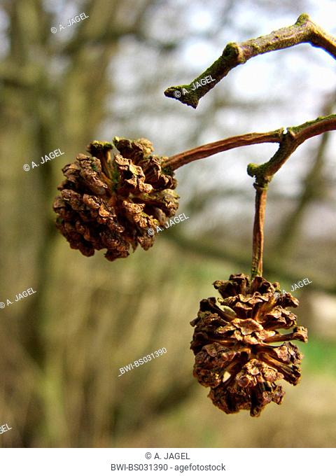 common alder, black alder, European alder (Alnus glutinosa), infrutescences, cones, Germany