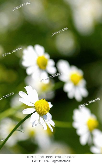 Chamomile, German Chamomile, Matricaria recutita, White daisy shaped flowers with yellow stamen growing outdoor.-