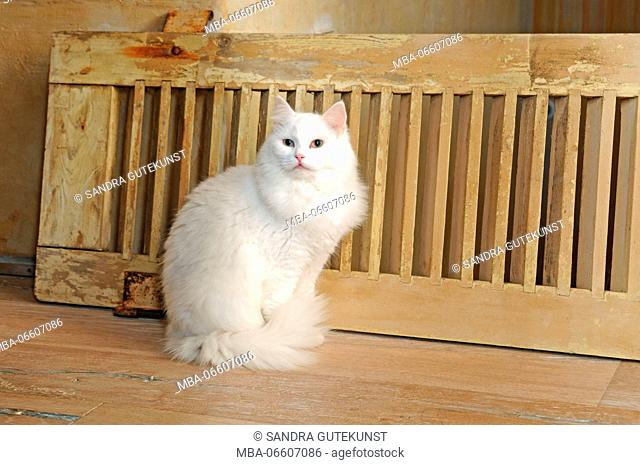 White longhair cat sits on wooden floor, close-up