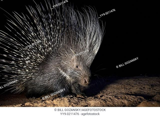 Cape porcupine or South African porcupine (Hystrix africaeaustralis) - Okonjima Nature Reserve, Namibia, Africa