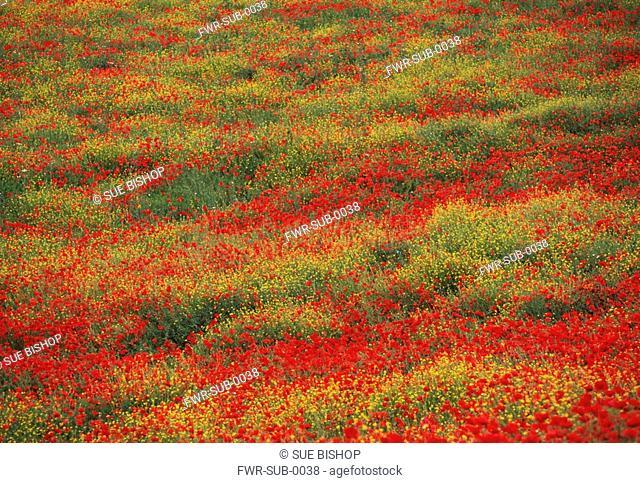 Papaver rhoeas, Poppy field