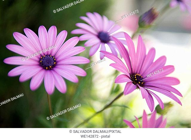maroon daisies flowers close up shot,location porqueres,girona,catalonia,spain,europe,