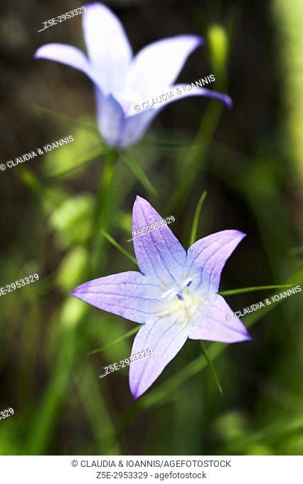 Bluebell (Campanula rotundifolia)