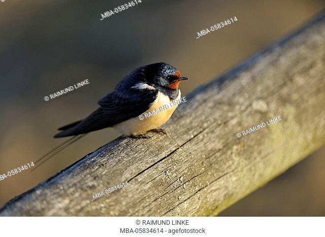 Swallow Hirundo rustica, in Spring, Illmitz, Lake Neusiedl, Burgenland, Austria