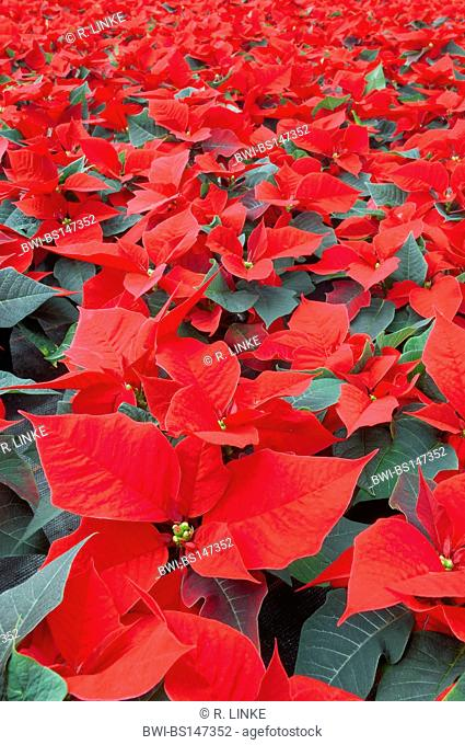 poinsettia (Euphorbia pulcherrima), plants with magnificent coloured bracts