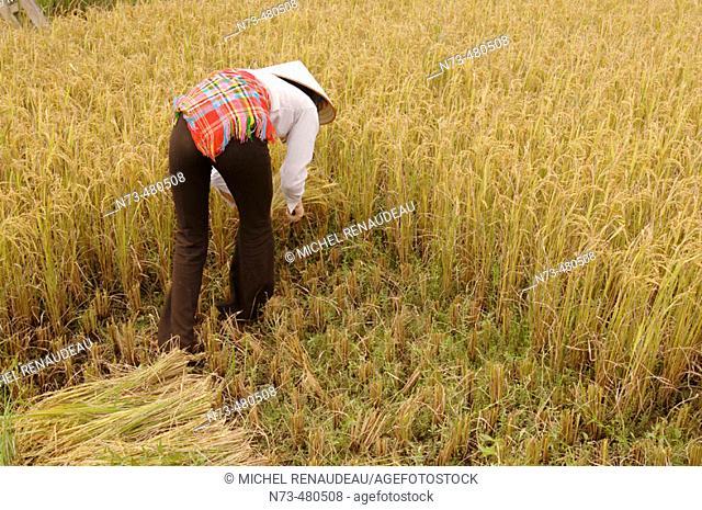 Young woman harvesting rice, Binh Lu Valley, Lai Chau province, Vietnam
