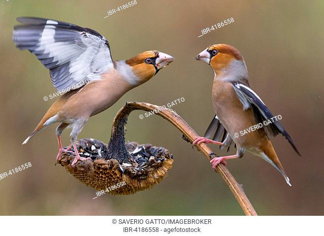 Hawfinch (Coccothraustes coccothraustes), Males fighting for food, Tuscany, Italy