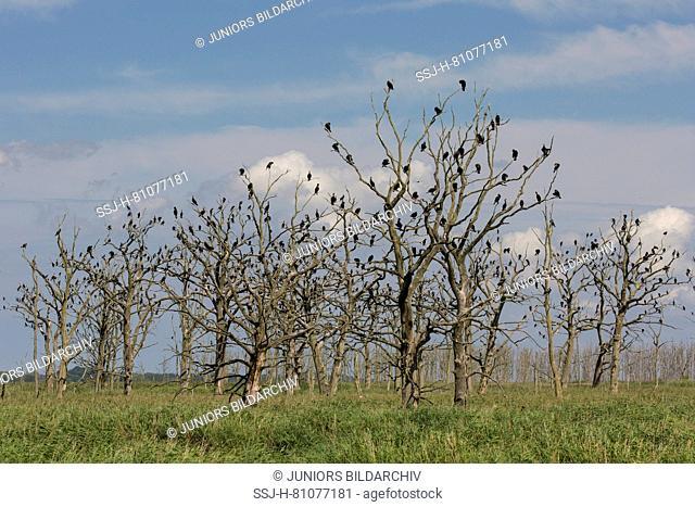 Cormorant (Phalacrocorax carbo). Birds resting on dead trees. Nature reserve Anklamer Stadtbruch, Mecklenburg-West Pomerania, Germany