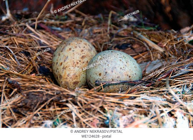 Gull's eggs, nest (Rissa tridactyla), at the Barents Sea, Russia, Arctic