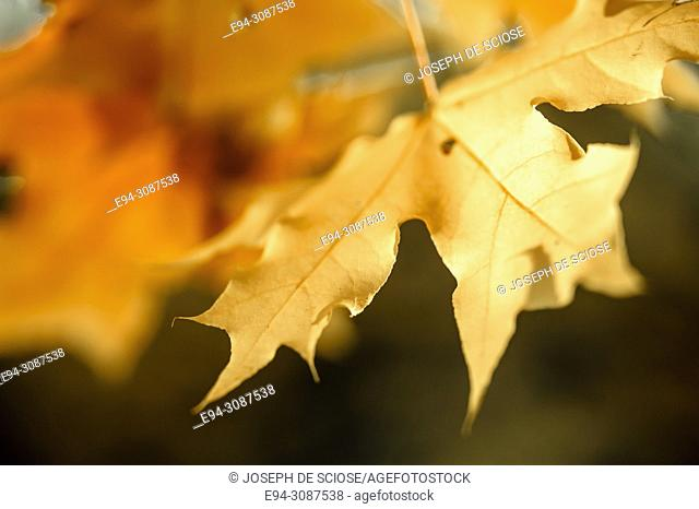 Close-up of Japanese maple leaves in fall color with a blurry background