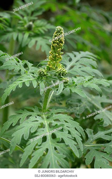 DEU, 2008: Annual Ragweed, Common Ragweed (Ambrosia artemisiifolia). Young plant with flower buds