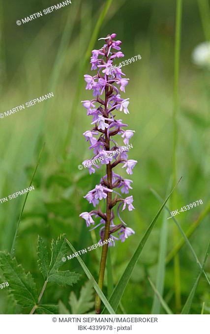 Fragrant orchid (Gymnadenia conopsea), Orchid, Magnetsrieder Hardt near Weilheim, Upper Bavaria, Bavaria, Germany