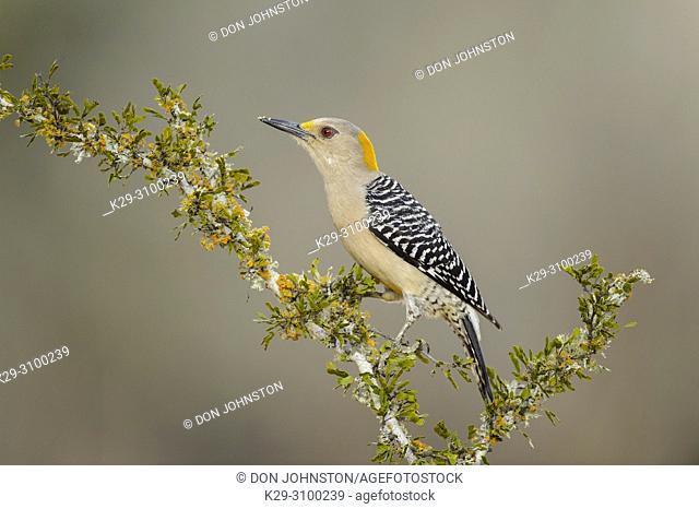 Golden-fronted woodpecker (Melanerpes aurifrons), Santa Clara Ranch, Starr County, Texas, USA