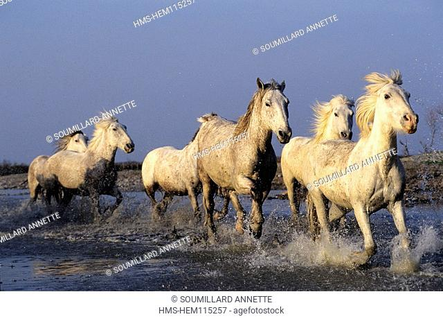 France, Gard, Camargue area, horses crossing the pond