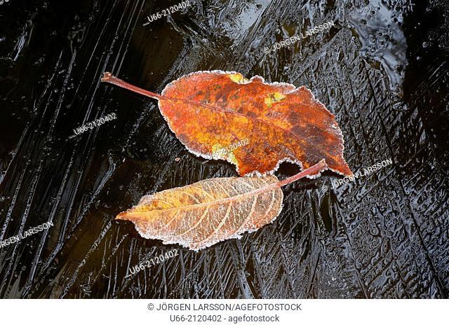 Autumn leaves in november, Botkyrka, Sweden
