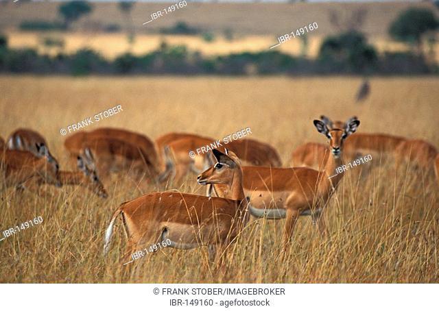 Impala (Aepyceros melampus), Masai Mara, Kenya, Africa