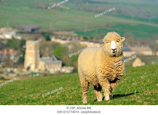 Sheep and distant village
