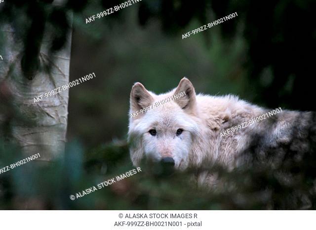 CAPTIVE: Adult Grey Wolf peering through foliage at Seattle's Woodland Park Zoo, Washington, Summer