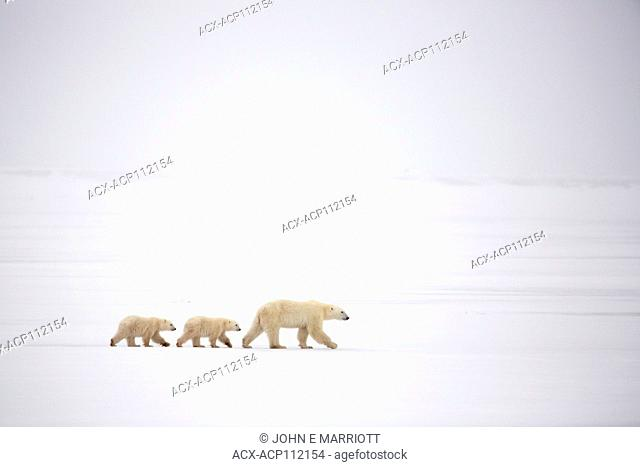 Polar bear, Ursus maritimus, sow and cubs, Cape Churchill, MB, Canada