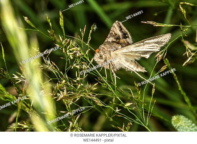 Germany, Saarland, Bexbach -A silver Y moth is sitting on a grass-stock