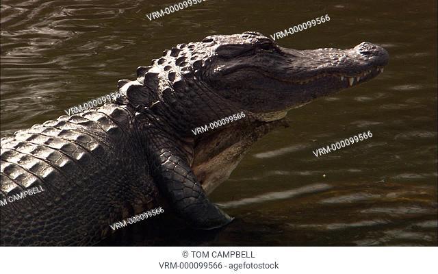 American alligator Alligator mississippiensis. Everglades NP, Florida, USA
