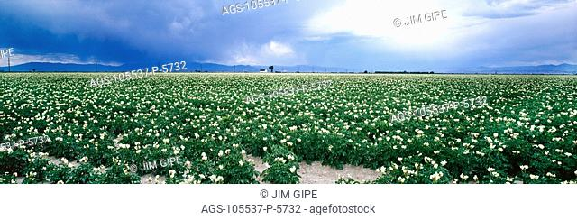 Agriculture - Potato field in bloom with approaching storm clouds / South Dakota, USA