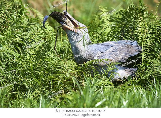 Whale headed / Shoebill stork (Balaeniceps rex) feeding on a Spotted African lungfish (Protopterus dolloi) in the swamps of Mabamba, lake Victoria, Uganda