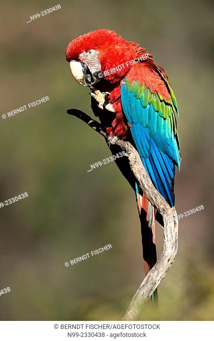 Green winged Macaw (Ara chloroptera), sitting in dry forest, Cerrado, Mato Grosso du Sul, Brazil