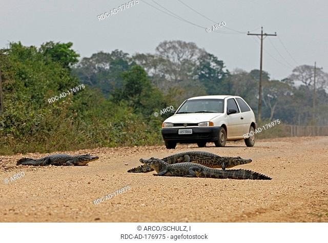 Paraguayan Caimans on road, Brazil, Caiman crocodilus yacare