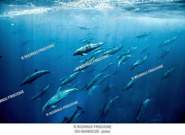 Large group of bottlenose dolphins, Seymour, Galapagos, Ecuador, South America